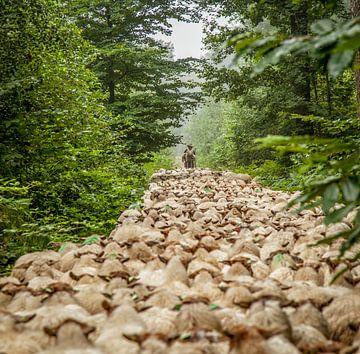 Schaapsherder op pad met zijn kudde van
