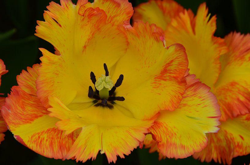 Gele Tulp met rood randje van Marcel van Duinen