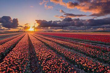 Coucher de soleil sur les champs de tulipes à Flevoland