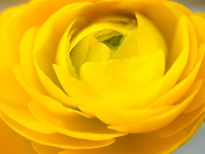 Gele ranonkel van Cindy Arts