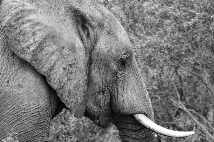 Dwalende olifant van Dustin Musch