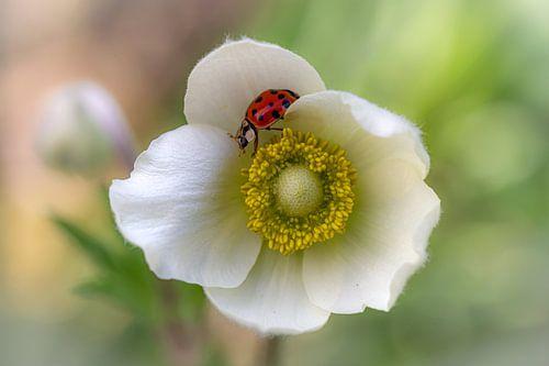 Witte anemoon met lieveheersbeestje