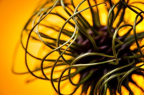 Abstract beeld van een bloem knop van een clematis / klimplant van