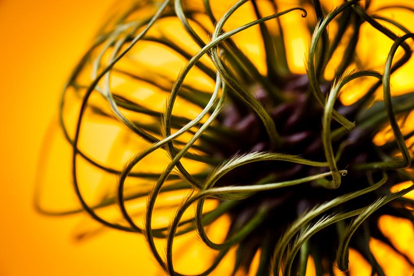 Abstract beeld van een bloem knop van een clematis / klimplant van Geert D