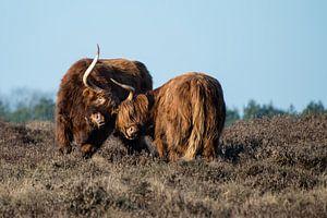 Schotse hooglanders in gevecht op de hei