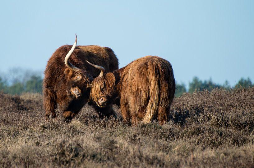 Schotse hooglanders in gevecht op de hei van Danielle Bosschaart