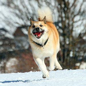 IcelandicSheepdog_001_by_JAMFoto van Angelika Möthrath