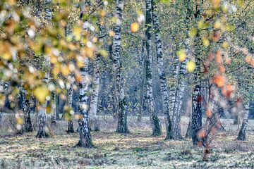 Herfstkleuren van een berkenbosje bij Kortenhoef van Ron van Gool