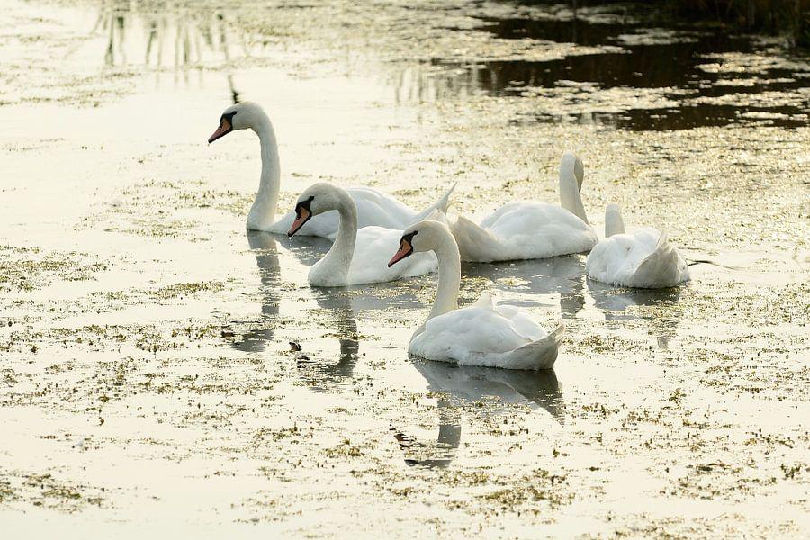 Vijf zwanen