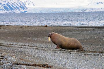 Walrus van Merijn Loch