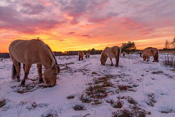 Noorse Fjordenpaarden bij zonsondergang van