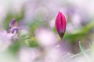 Eenzaam tulpje