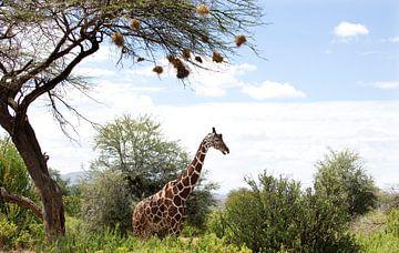 Reticulated Giraf onder een acaciaboom, Samburu, Kenia, Afrika. van Louis en Astrid Drent Fotografie