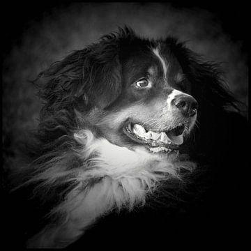 Berner Sennenhond von Anja Jooren