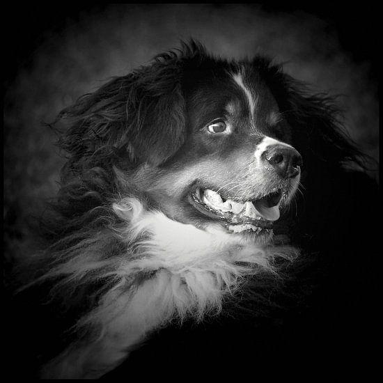 Berner Sennenhond van Anja Jooren