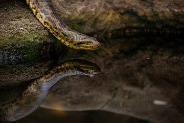 slang met reflectie van Angelo de Bruin