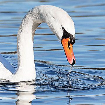 Zwaan tilt kop op uit het water van Fotografie Jeronimo