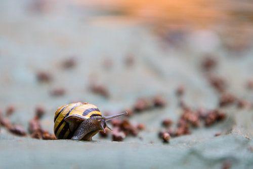 Snail at evening sun von