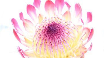 Leuchtende Blütenblätter von Hannelore