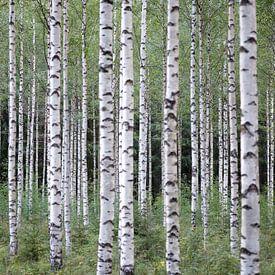 Birch Trees sur Rudy De Maeyer