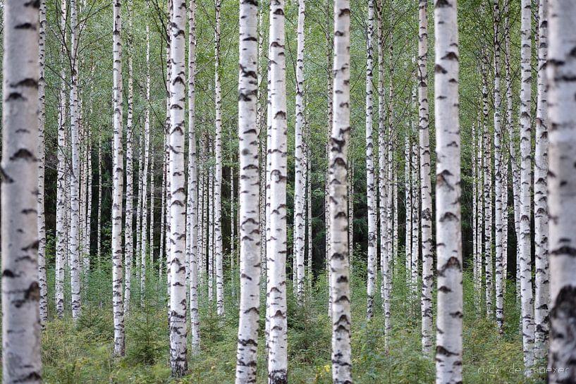 Birch Trees von Rudy De Maeyer