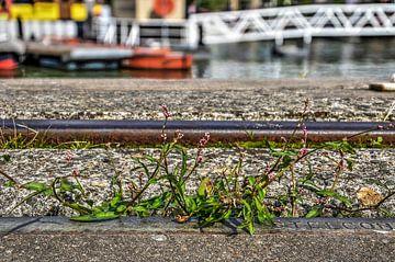 Perzikkruid aan de haven