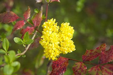 Gele bloem van Roberto Zea Groenland-Vogels