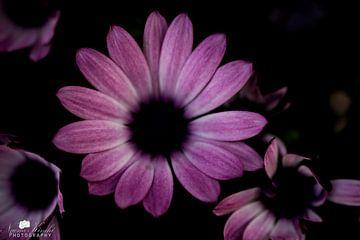 Daisy lila und schwarzen Farben von Photography by Naomi.K
