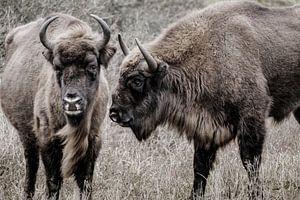 Twee wisenten (Europese bizons) naast elkaar in de Kennemerduinen