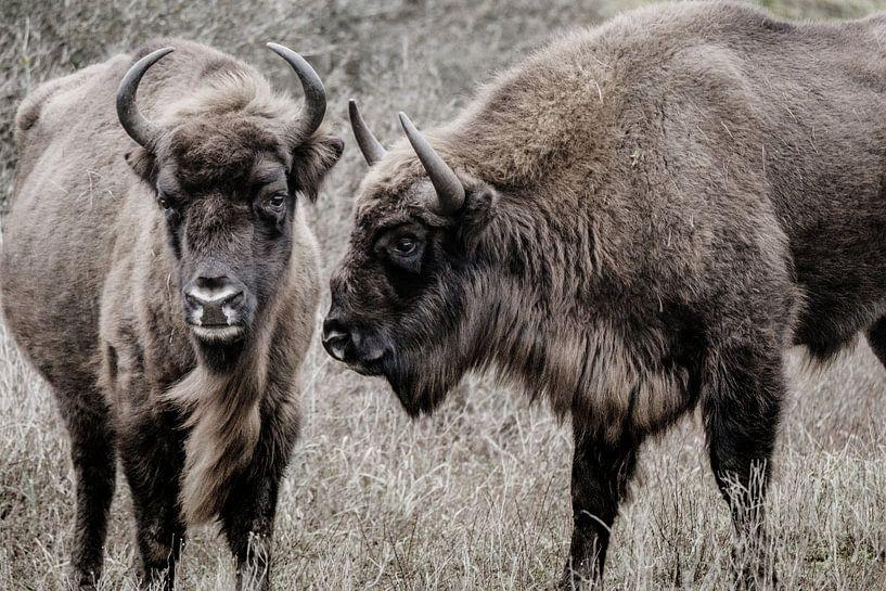 Twee wisenten (Europese bizons) naast elkaar in de Kennemerduinen van Melissa Peltenburg