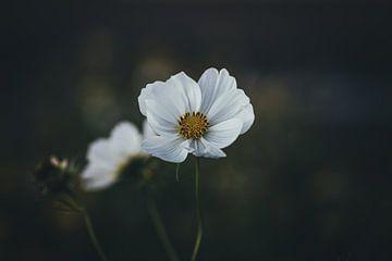 weiße Blume von Monique de Koning