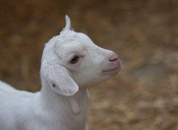 Nahaufnahme eines jungen Lammes von Compuinfoto .