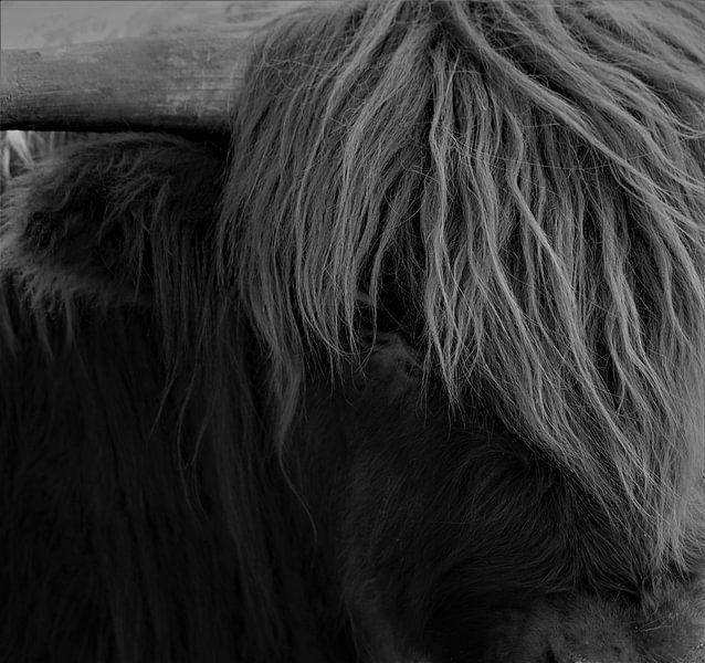 Close up Schotse Hooglander van Dominic Corbeau