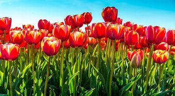 Nahaufnahme von roten Tulpen vor blauem Himmel von Ruurd Dankloff