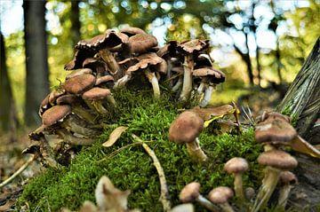 Een Paddenstoelenberg in het Bos van DoDiLa Foto's