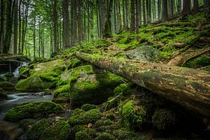 Oude boom in het Beierse Woud
