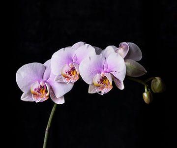 Roze orchideeën van Anouschka Hendriks