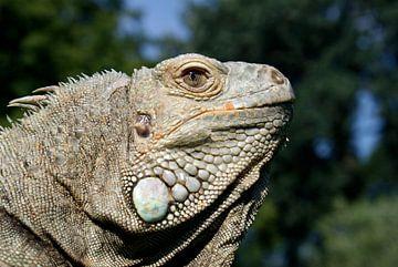 Grüner Leguan - Iguana iguana von