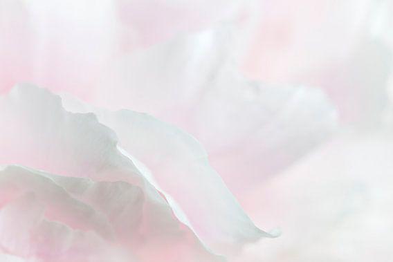 Roos in zacht wit 1 van Greetje van Son