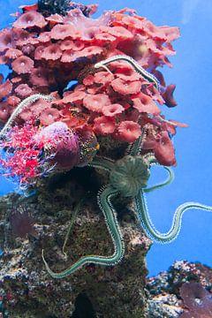 Grauer Seestern auf rosa Koralle von Babetts Bildergalerie