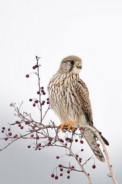 Torenvalk ( Falco tinnunculus ), vrouwelijke torenvalk in de winter, wilde dieren, Europa. van wunderbare Erde