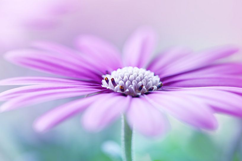 Paarse margriet van LHJB Photography