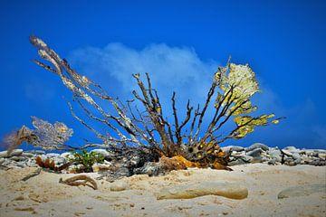 Koraal op Klein Curacao von Dubbel Dushi