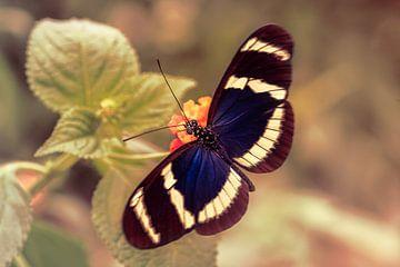 Blauwe Doris Longwing Vlinder von Tim Abeln