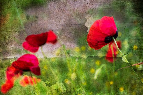 Rode klaprozen in de wind van Rietje Bulthuis