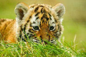 Nieuwsgierig tijger jong.
