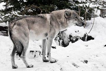 Großer grauer Wolf im Schnee. Wolf unter dem Baum, albernes Aussehen der Schnauze. von Michael Semenov