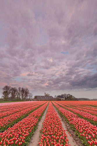 Bollenveld in Groningen van