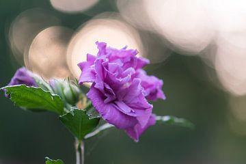 rosa Bokehblume von Tania Perneel