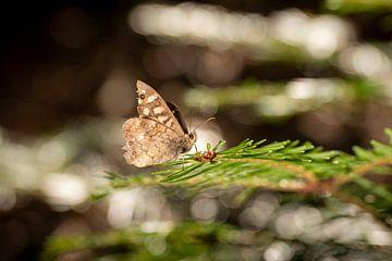 Kleiner brauner Schmetterling sitzt auf einem Tannenzweig von Hans-Jürgen Janda